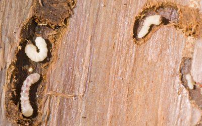 Meer over houtworm