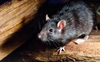 Meer over ratten