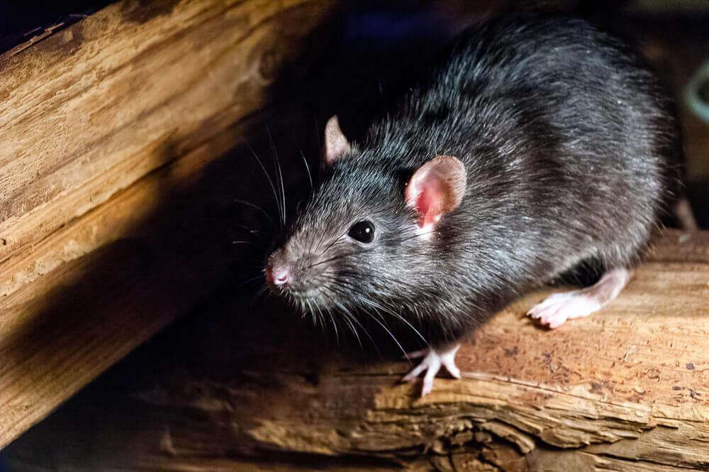 rat_op_een_stuk_hout